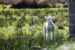 hope seen as lamb in pasture